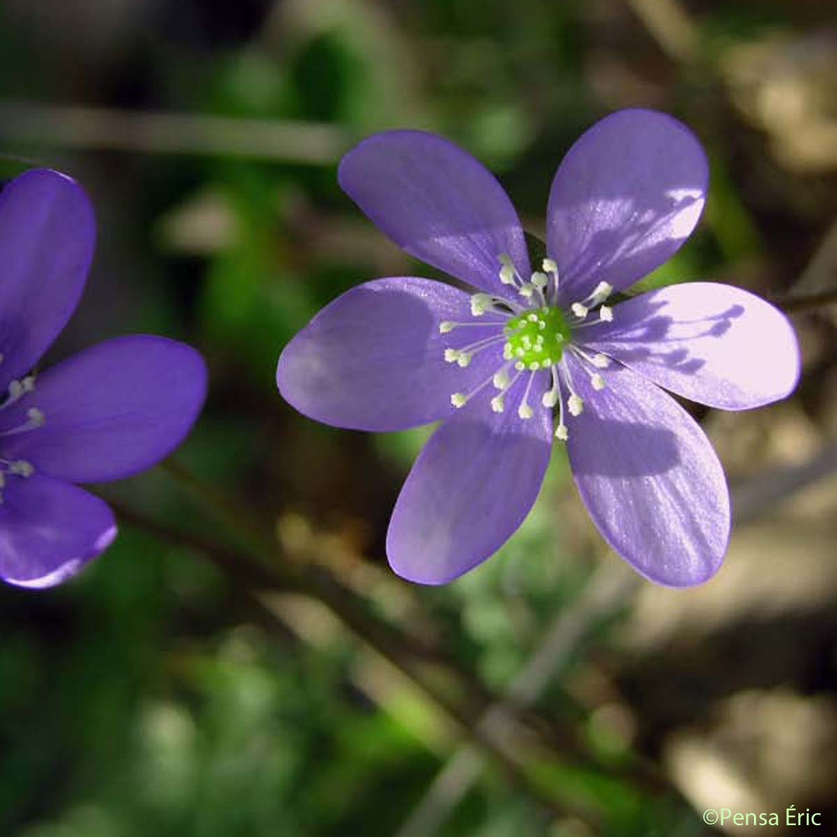 Anémone hépatique - Anemone hepatica