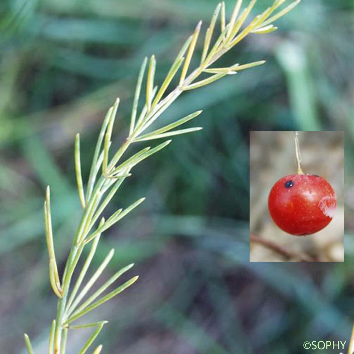 Asperge officinale - Asparagus officinalis subsp ...