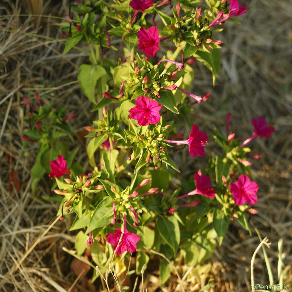 Belle-de-nuit - Mirabilis jalapa - quelle-est-cette-fleur.com