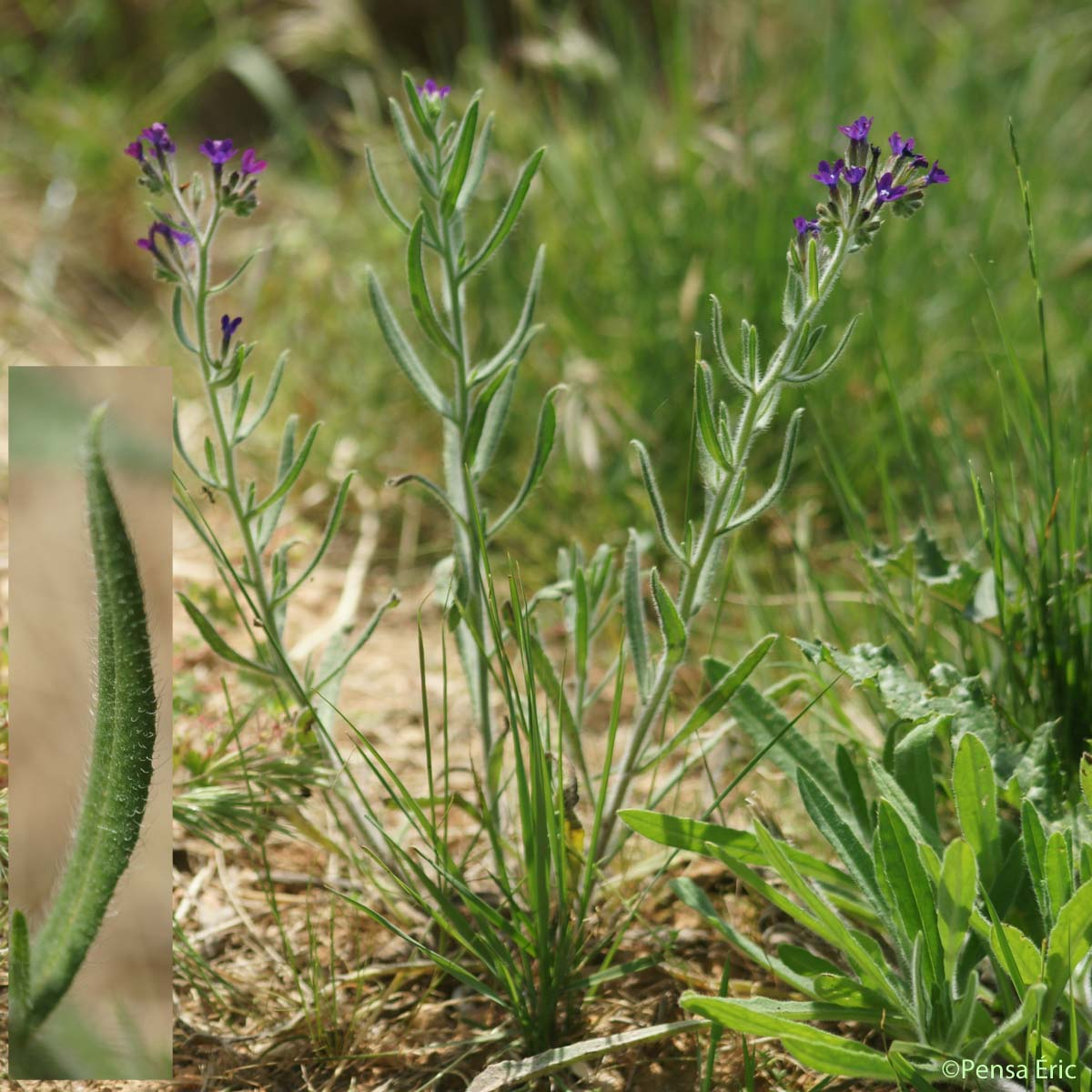 Buglosse officinale - Anchusa officinalis