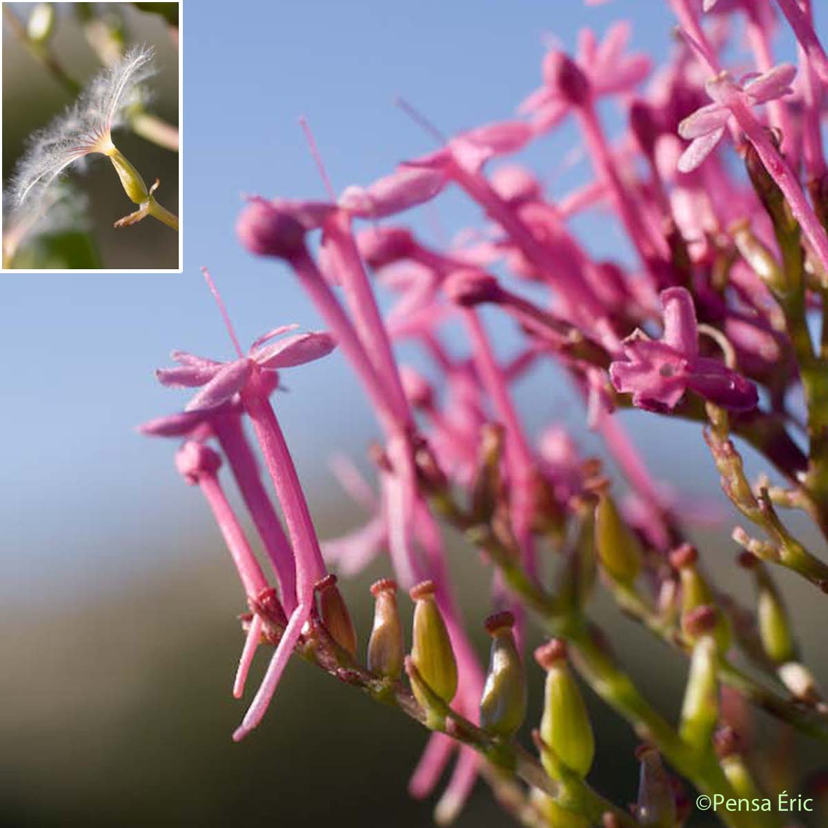 Centranthe rouge - Centranthus ruber subsp. ruber