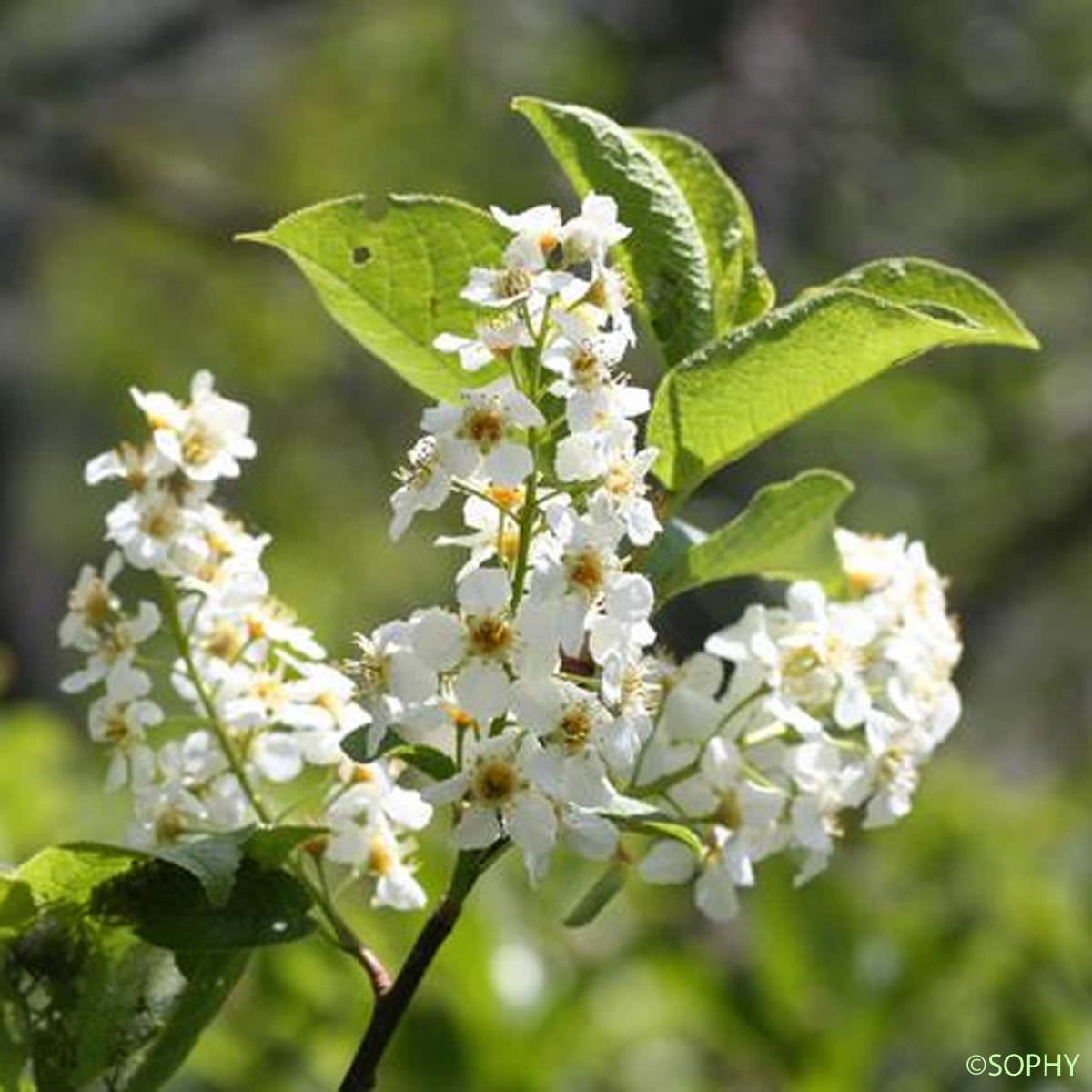 Cerisier Bois Puant : Cerisier ? grappes – Prunus padus – quelle-est-cette-fleur.com