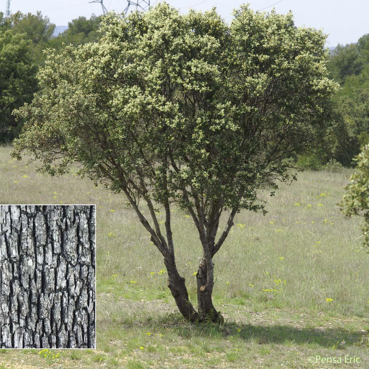 Ch ne vert quercus ilex quelle est cette - Maladie du chene vert arbre ...