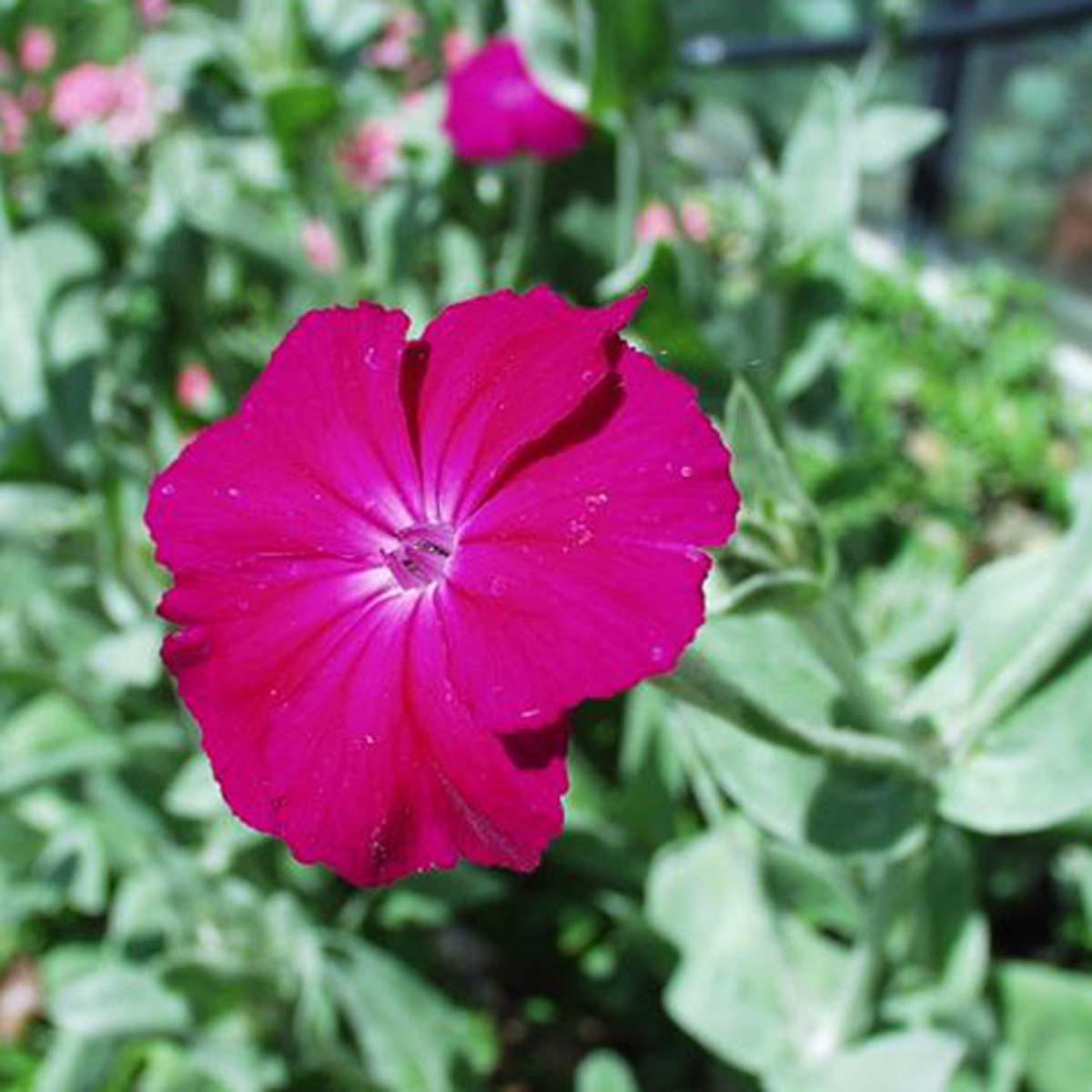 Coquelourde des jardins silene coronaria quelle est - Coquelourde des jardins lychnis coronaria ...