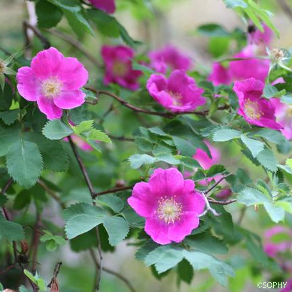 Glantier fruits pendants rosa pendulina quelle est for Garage l eglantier lisses