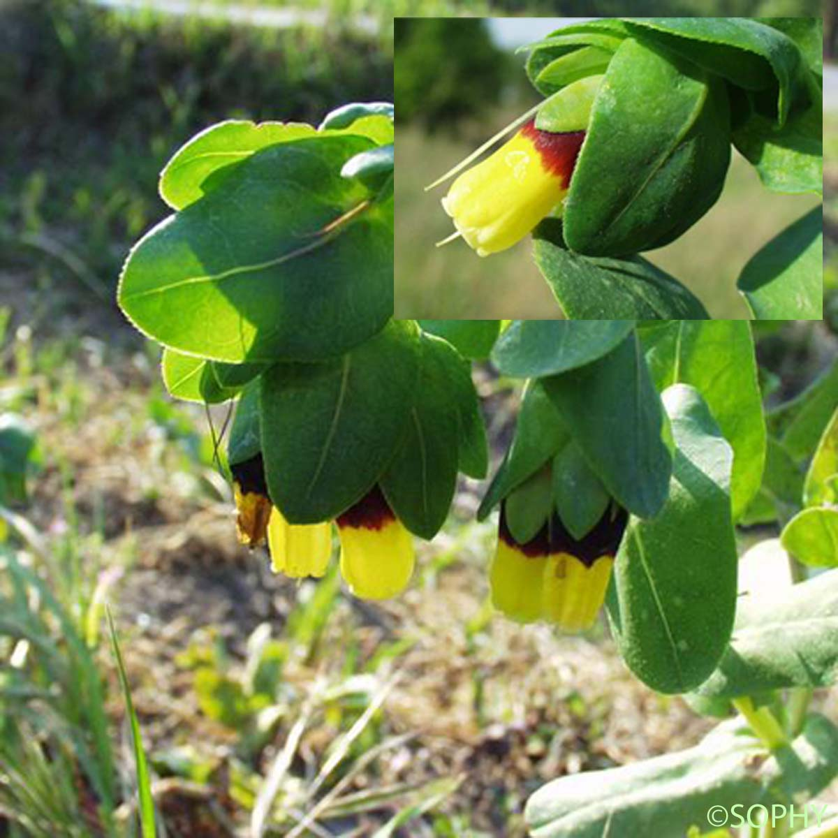 Grand Cérinthe - Cerinthe major subsp. major