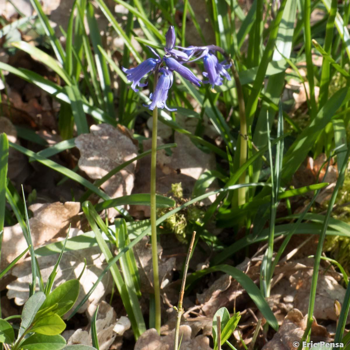 Jacinthe des bois Hyacinthoides non scripta quelle est cette fleur com # Jacinthe Des Bois Blanche