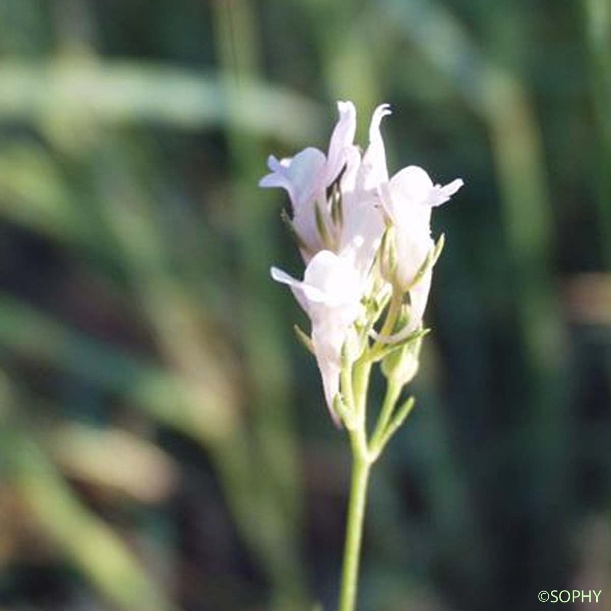 Linaire de Chalep - Linaria chalepensis