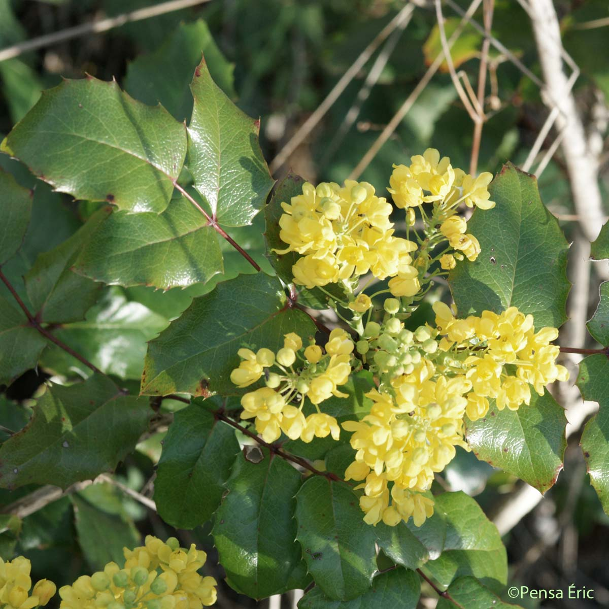 mahonia feuilles de houx berberis aquifolium quelle est cette. Black Bedroom Furniture Sets. Home Design Ideas