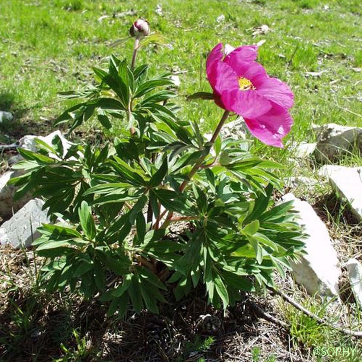 Pivoine de montagne paeonia officinalis subsp for Paeonia officinalis