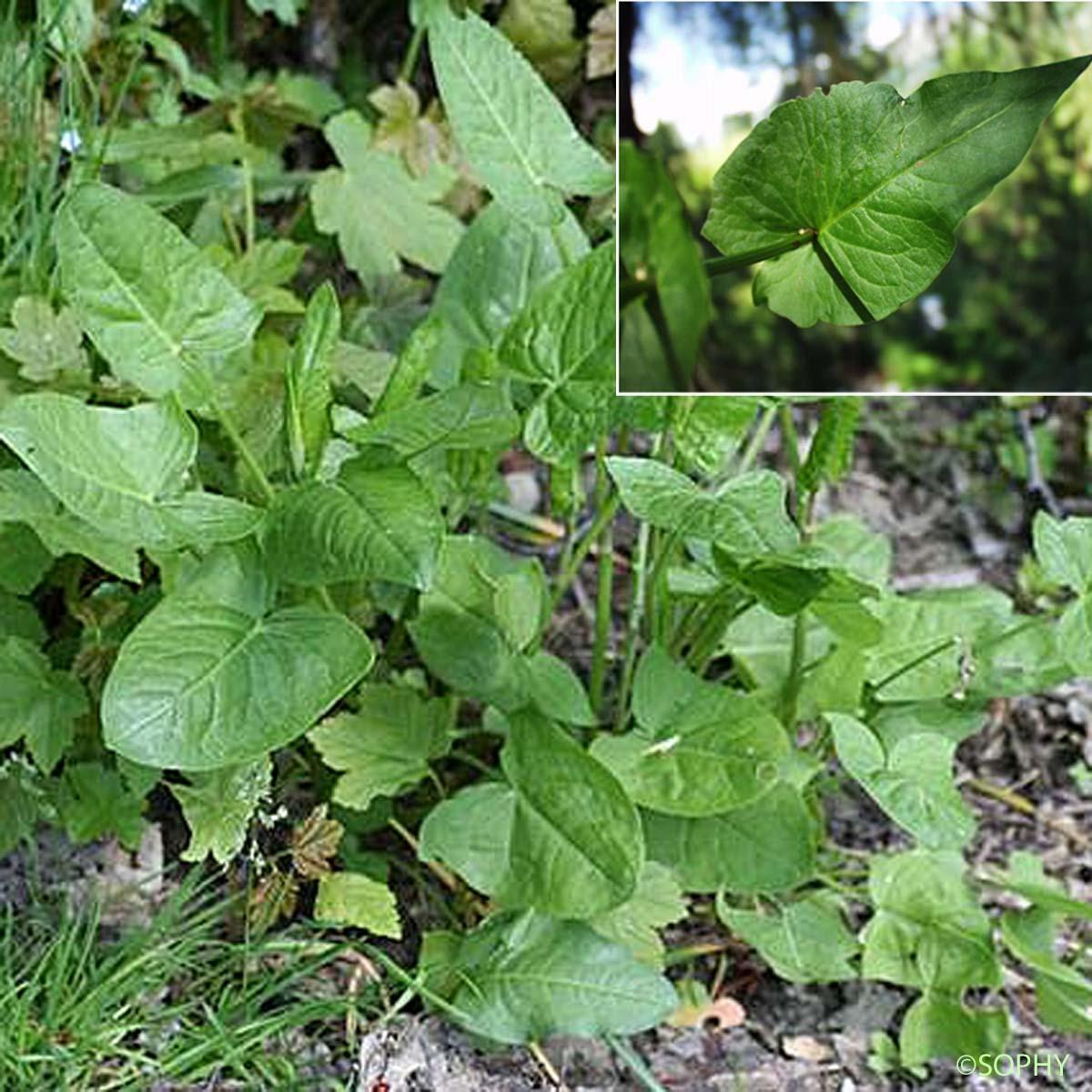rumex à feuilles d'arum - rumex arifolius - quelle-est-cette-fleur