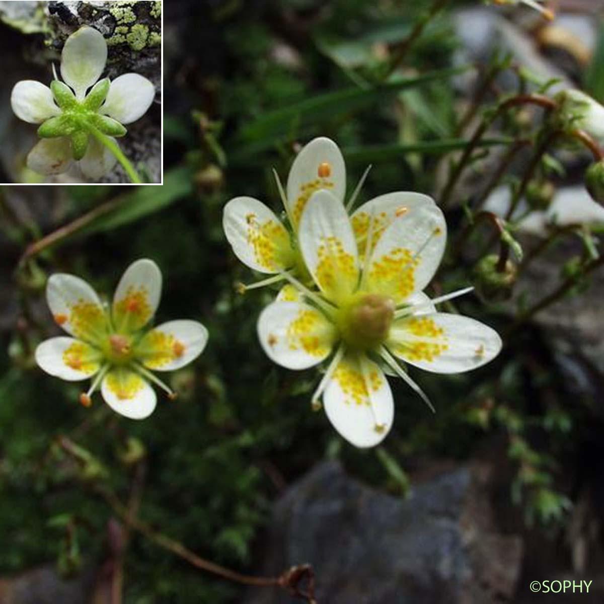 saxifrage d'auvergne - saxifraga bryoides - quelle-est-cette-fleur