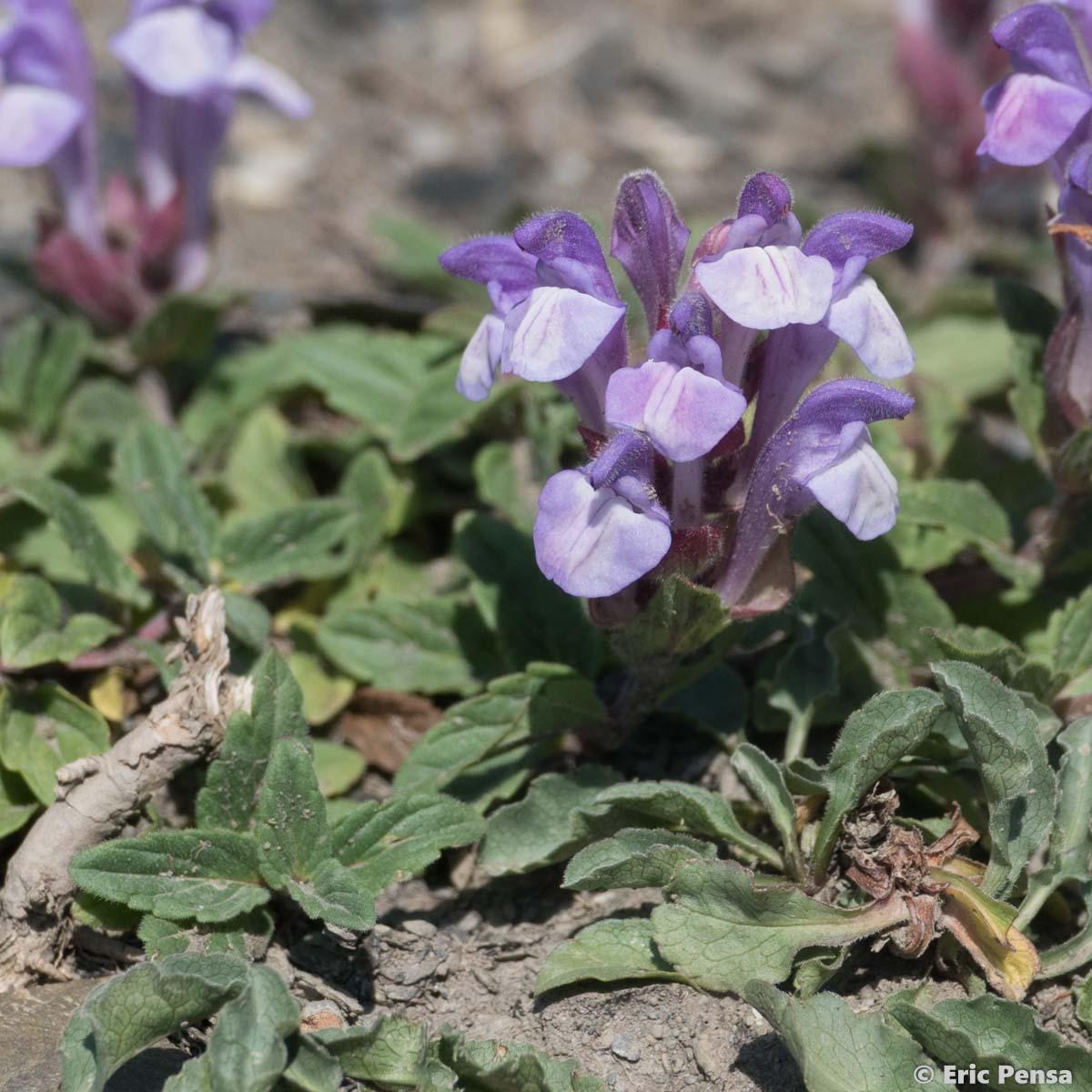 Scutellaire des Alpes - Scutellaria alpina