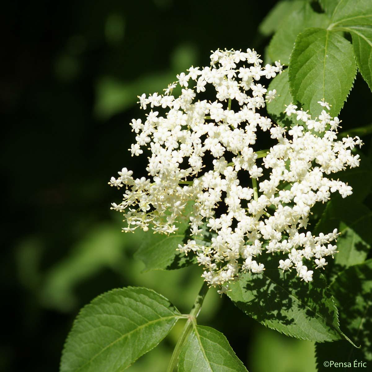 Sureau noir sambucus nigra quelle est cette - Arbuste petites fleurs blanches ...