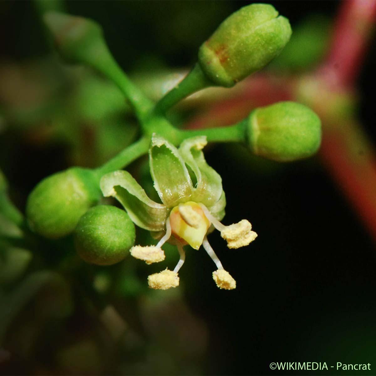 Vigne Vierge Parthenocissus Quinquefolia Quelle Est Cette Fleur Com