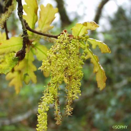 Chene Pedoncule Quercus Robur Quelle Est Cette Fleur Com
