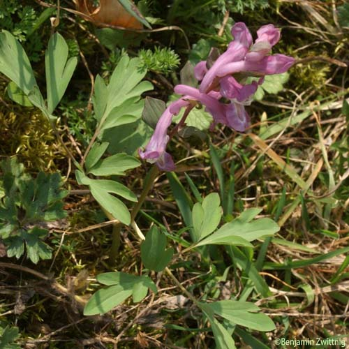 Corydale bulbeuse - Corydalis cava