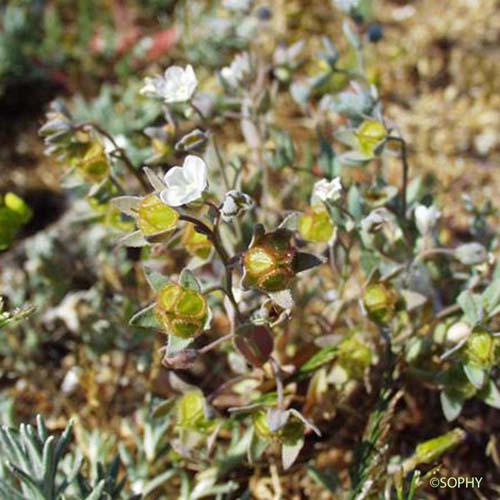 Cynoglosse des dunes - Omphalodes littoralis subsp. littoralis