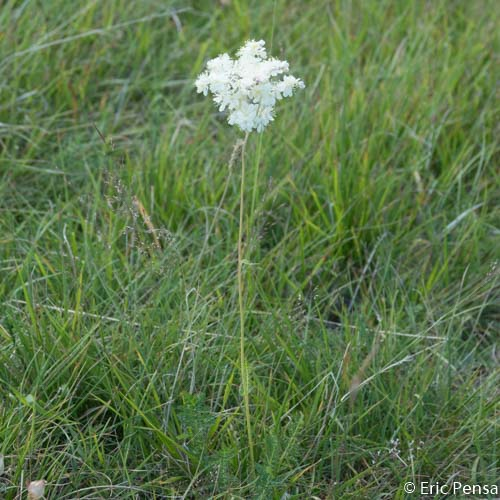 Filipendule commune - Filipendula vulgaris