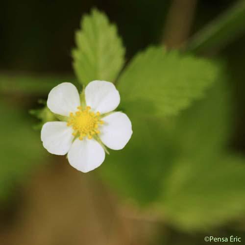 Fraisier Des Bois Fragaria Vesca Quelle Est Cette Fleur Com