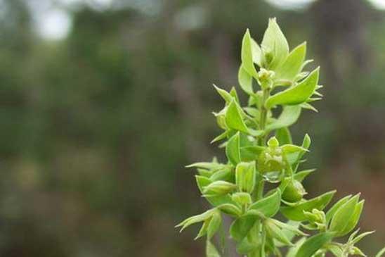 Cotonni re feuilles spatul es filago pyramidata quelle est cette - Polygala myrtifolia feuilles jaunes ...