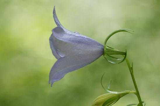 Plantain recourb plantago holosteum quelle est cette - Campanule a feuilles rondes ...