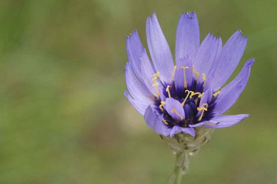 Catananche bleue - Catananche caerulea