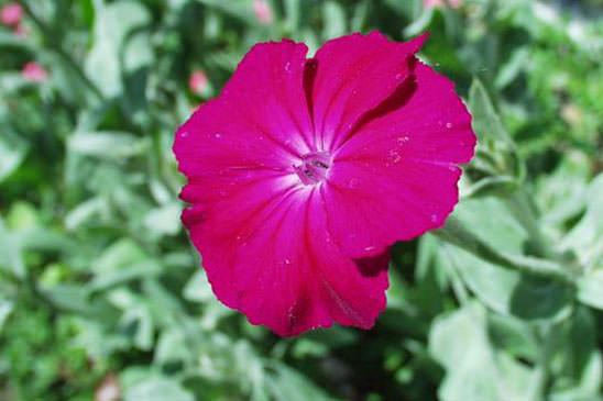 Rucastre de france erucastrum gallicum quelle est - Coquelourde des jardins lychnis coronaria ...