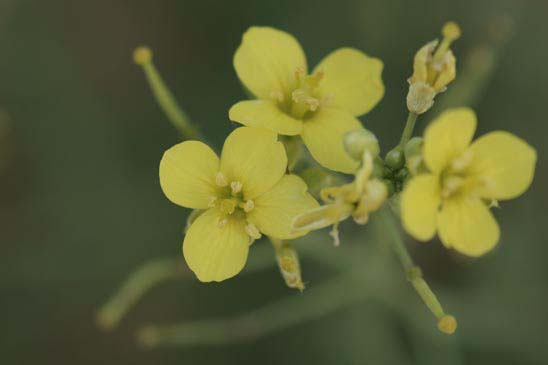 Famille Des Brassicaceae Brassicacees Quelle Est Cette Fleur Com