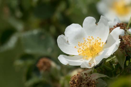 Arbres Ou Arbustes A Fleurs Blanches A 5 Petales Egaux Et Plus Ou