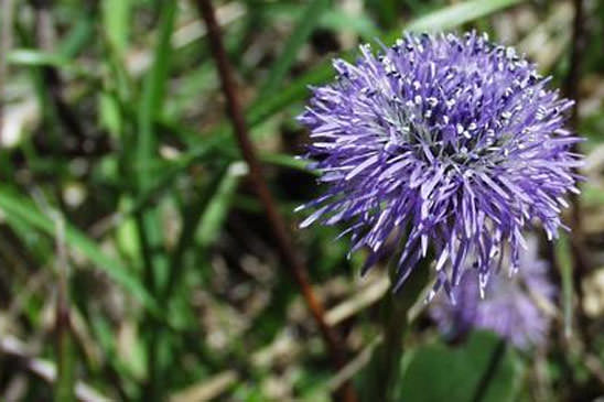 Globulaire commune - Globularia vulgaris