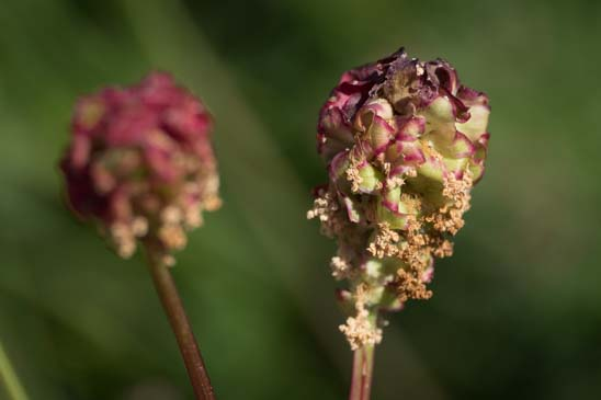 Grande Pimprenelle - Sanguisorba officinalis