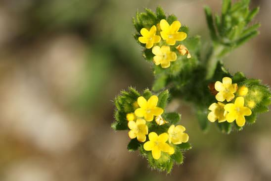Crupine vulgaire crupina vulgaris quelle est cette - Polygala myrtifolia feuilles jaunes ...