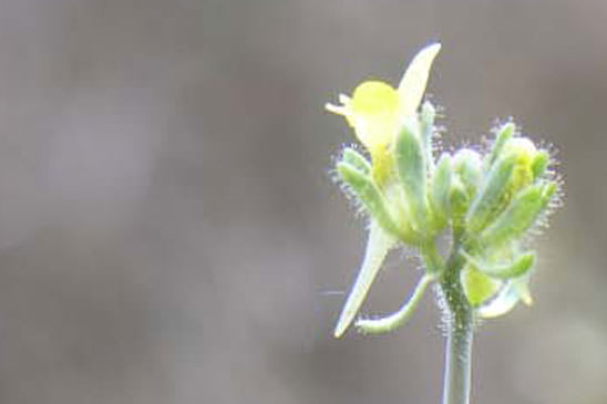 Linaire simple - Linaria simplex