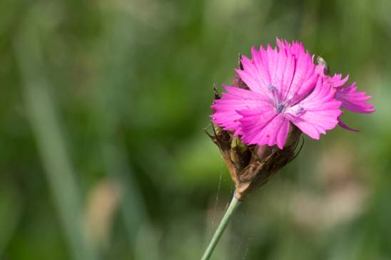 Oeillet des Chartreux - Dianthus carthusianorum subsp. carthusianorum