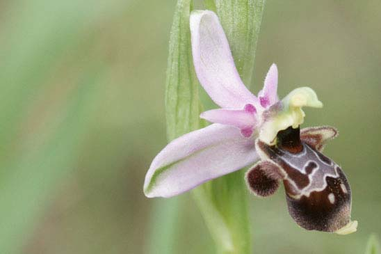 Ophrys bécasse - Ophrys scolopax subsp. scolopax
