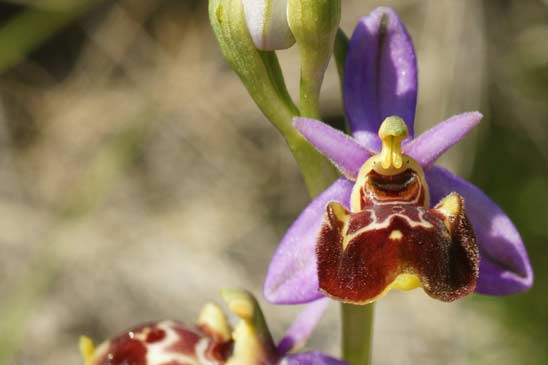 Ophrys fausse bécasse - Ophrys vetula
