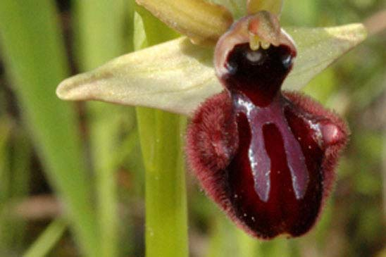Ophrys noirâtre - Ophrys incubacea