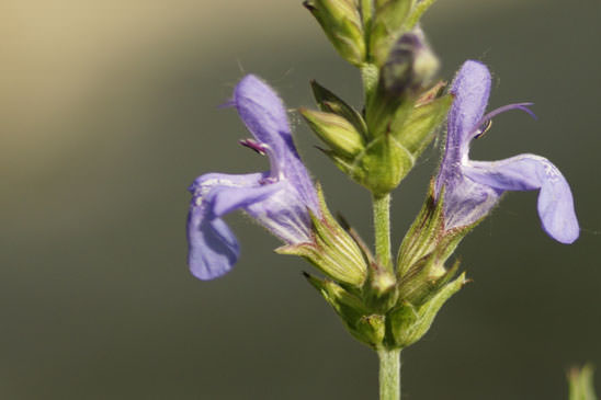 Sauge officinale - Salvia officinalis subsp. officinalis