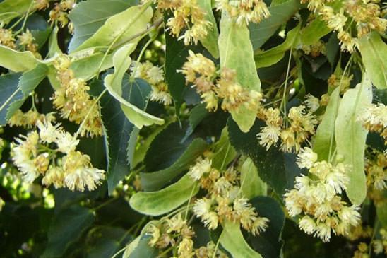 Famille des malvaceae malvac es quelle est cette - Tilleul a grandes feuilles ...